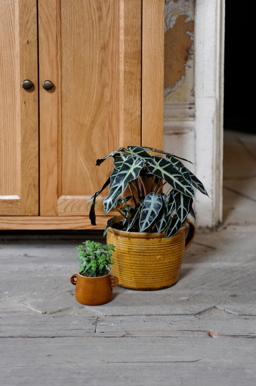 Alocasia, Succulent, oak furniture, wooden floor, plants