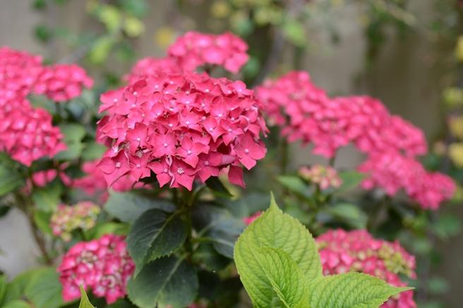 Blooming hydrangeas, pink hydrangeas