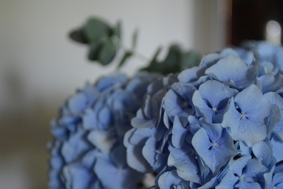 blue hydrangeas, flowers, blue petals
