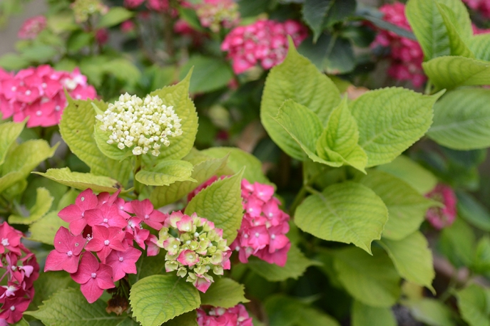 Pink Hydrangeas in bloom, growing hydrangeas